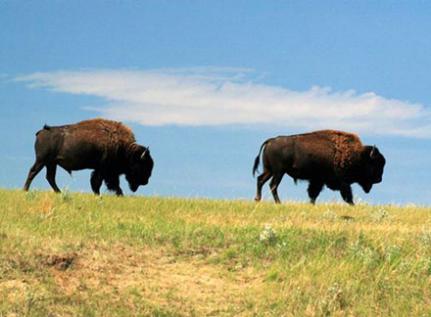 two buffalos in a field